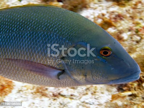Close up of a Red Snapper (Lutjanus campechanus)