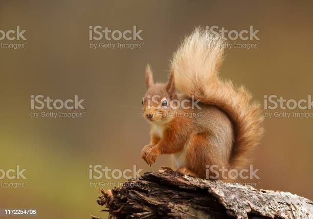 Photo of Close up of a red squirrel sitting on a log in the forest