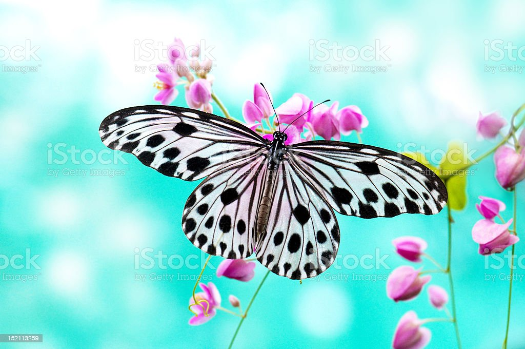Close up of a Rice Paper Butterfly resting on a pink flower stock photo