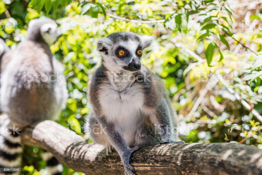 Close up of a ring-tailed lemur, portrait of Lemur. stock photo