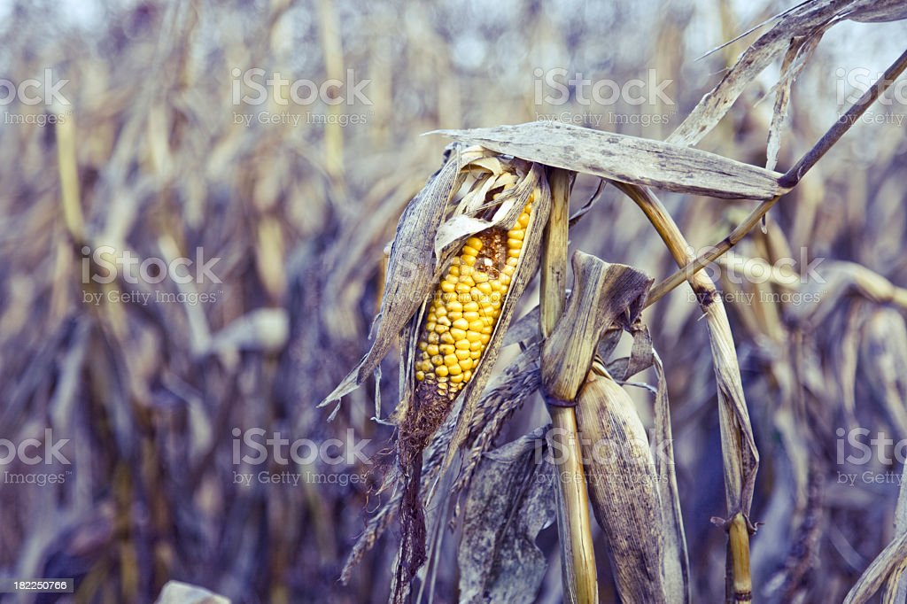 Close up of a rotten corn in the middle stock photo
