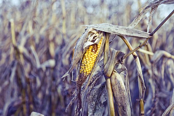 rotten milho - planta morta imagens e fotografias de stock
