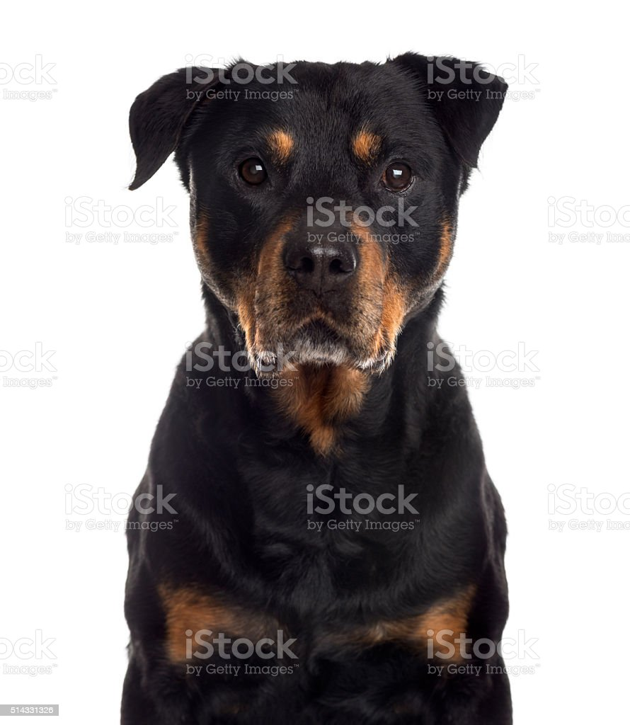 Close up of a Rottweiler, isolated on white stock photo