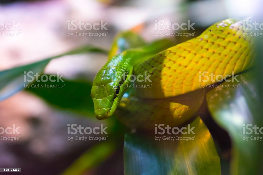 Close up of a rough green snake between leaves stock photo