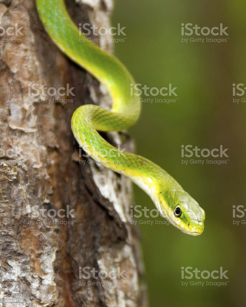 Close up of a Rough Green Snake in a tree stock photo