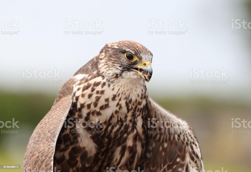 Close up of a Saker Falcon royalty-free stock photo