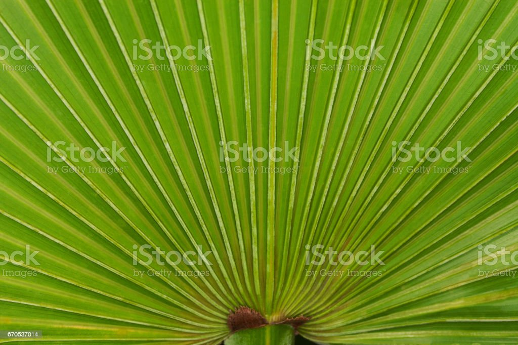 Close up of a saw palmetto frond stock photo