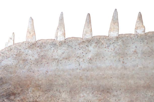 cierre para arriba de la sierra de tiburones nariz - pez sierra fotografías e imágenes de stock