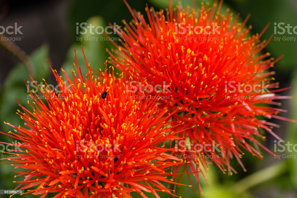 Close up of a Scadoxus multiflorus, Amaryllidaceae, selective focus stock photo