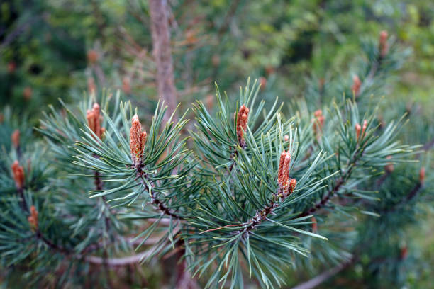 närbild av en scots pine blomma med grenar - fur bildbanksfoton och bilder