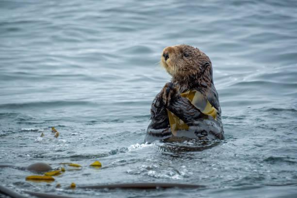 Nahaufnahme eines Seeotters im Meer in Tofino, Vancouver Island, British Columbia, Kanada – Foto