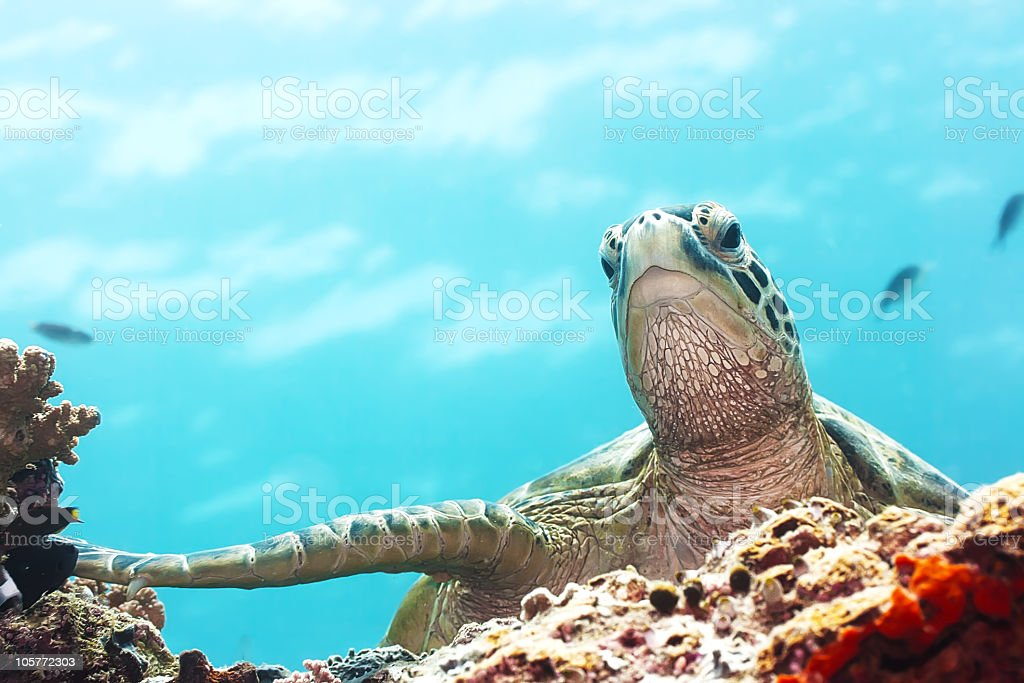A close up of a sea turtle in the ocean royalty-free stock photo