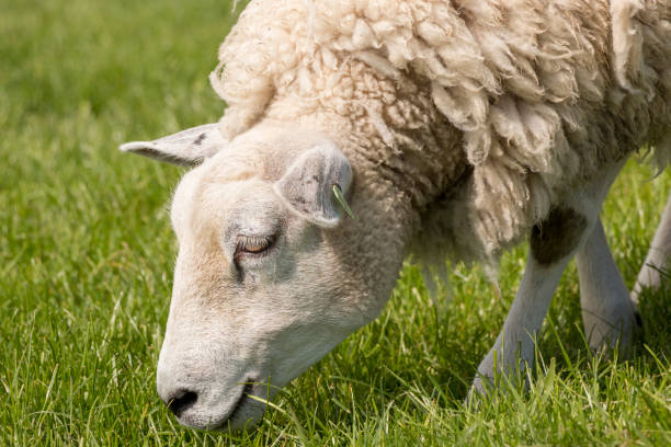 Close up of a sheep grazing on the IJsselmeer dyke. stock photo