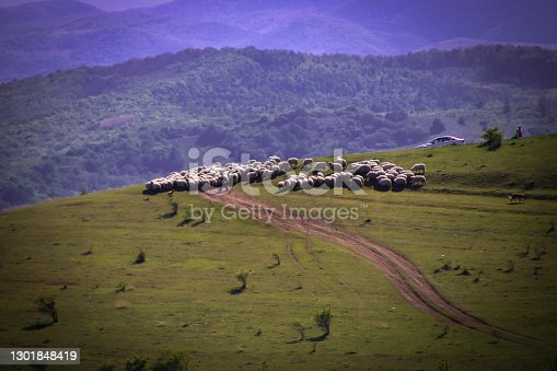 istock Close up of a sheep on a hill, green grass and off road in the middle. In the back mountains. 1301848419