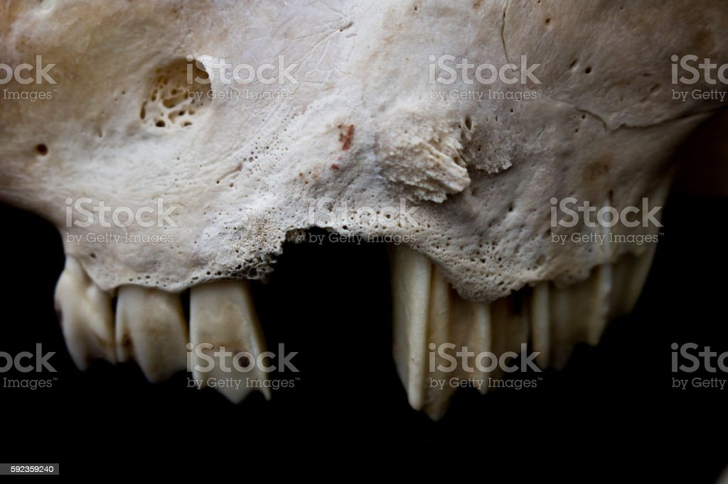 Close Up Of A Sheep Teeth And Jaw In Skull Stock Photo & More ...