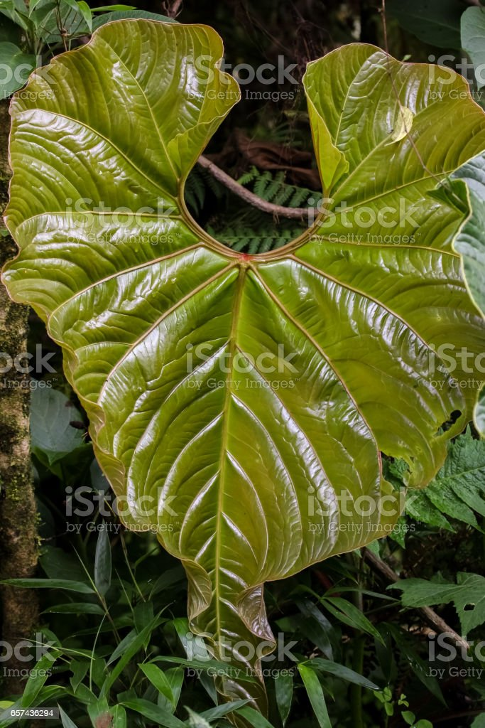Close up of a shiny rainforest leaf stock photo