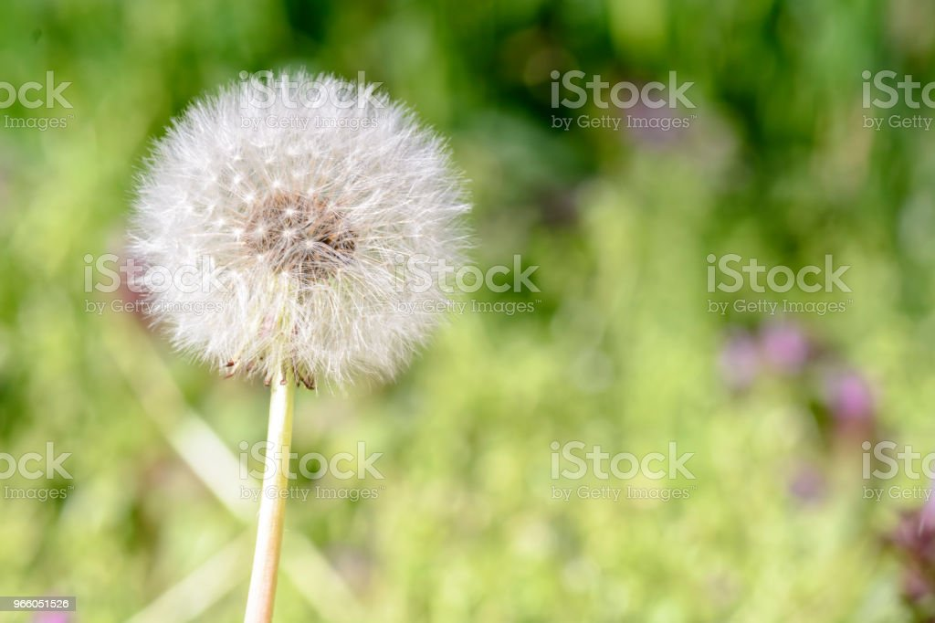 Close up of a single dandelion against blurry background. - Royalty-free Abstrato Foto de stock