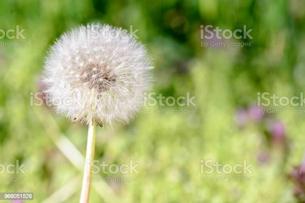 Close Up Of A Single Dandelion Against Blurry Background - Fotografias de stock e mais imagens de Abstrato