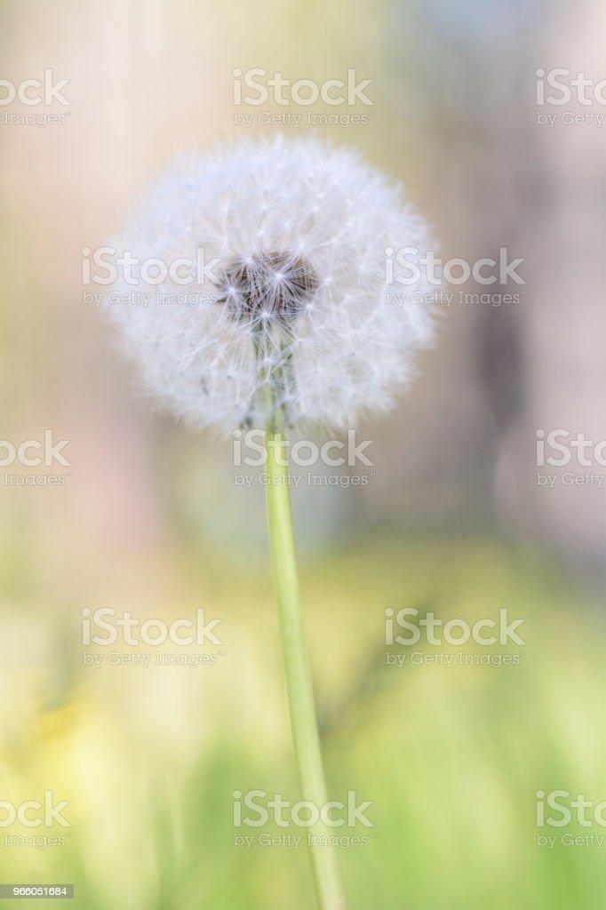 Close up of a single dandelion against blurry background. - Стоковые фото Абстрактный роялти-фри
