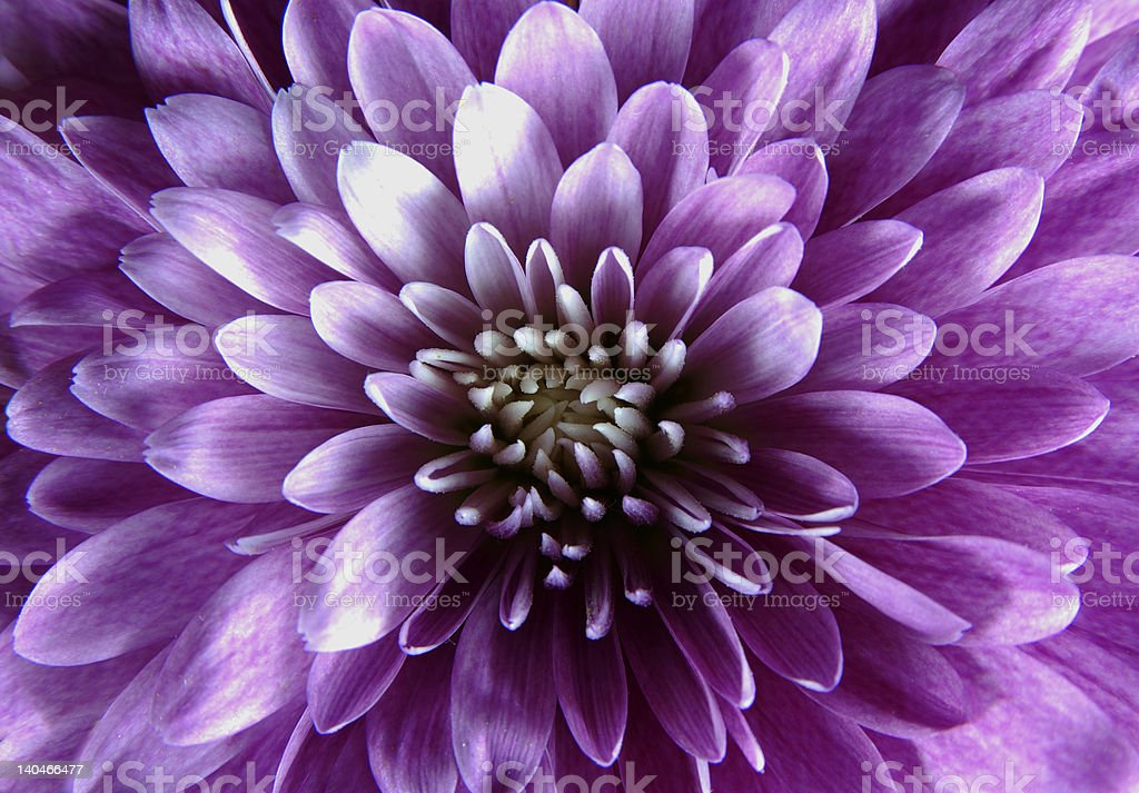 A close up of a single purple flower royalty-free stock photo