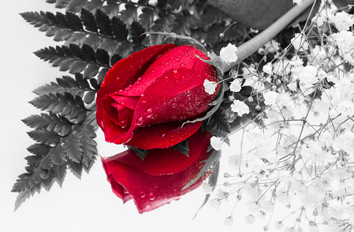 Close up of a single red blooming rose and its reflection in a mirror