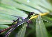 close up of a small garden lizard / tree lizard in  a home garden Sri Lanka