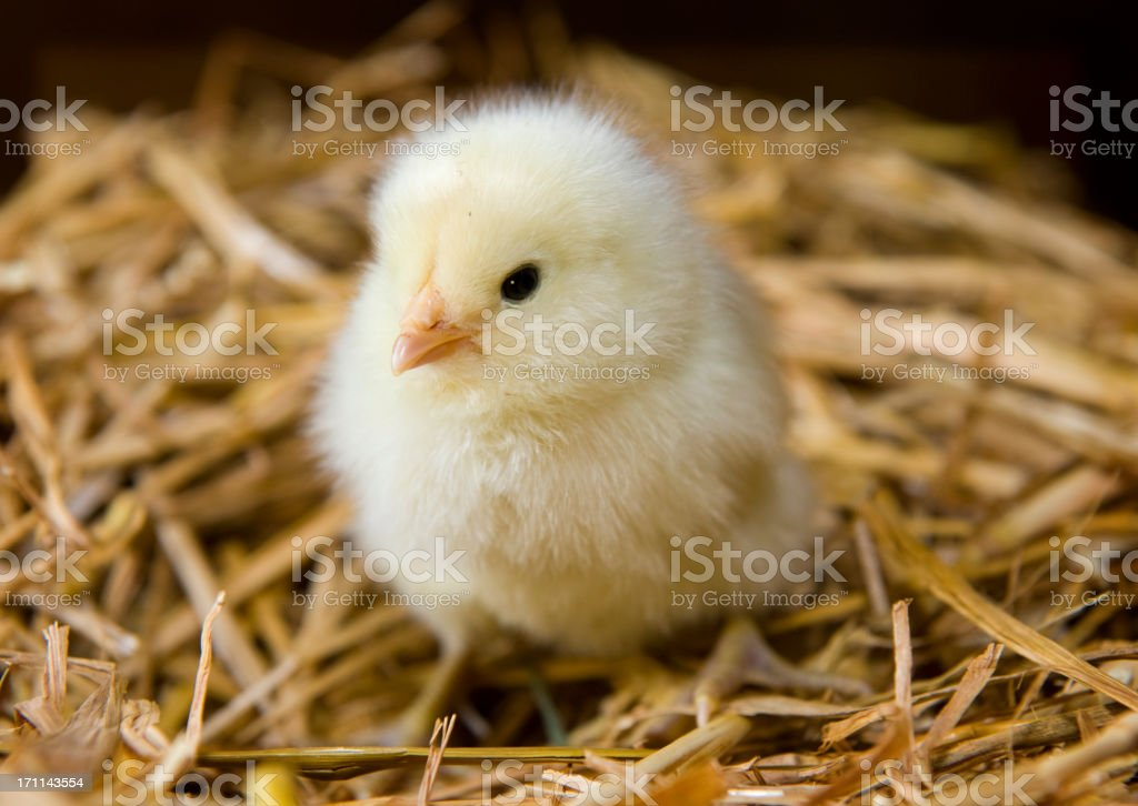Close up of a small yellow chick sitting on straw stock photo