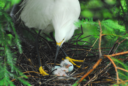 Nest life deep in the Florida Everglades.  A Snowy Egret mother caring for her newly born chick and eggs.
