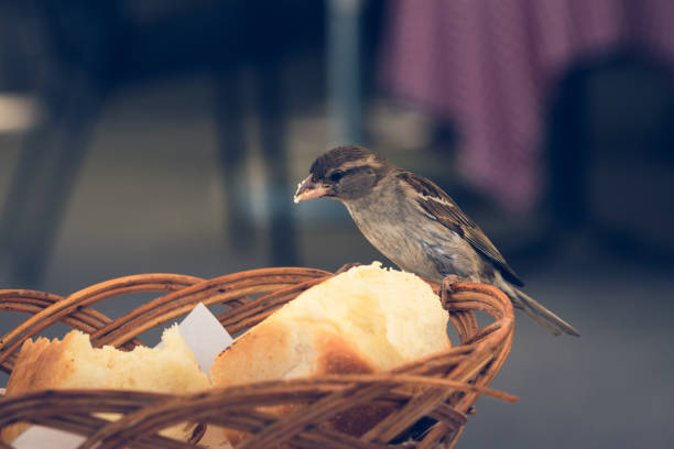 Close up of a sparrow stealing bread. stock photo
