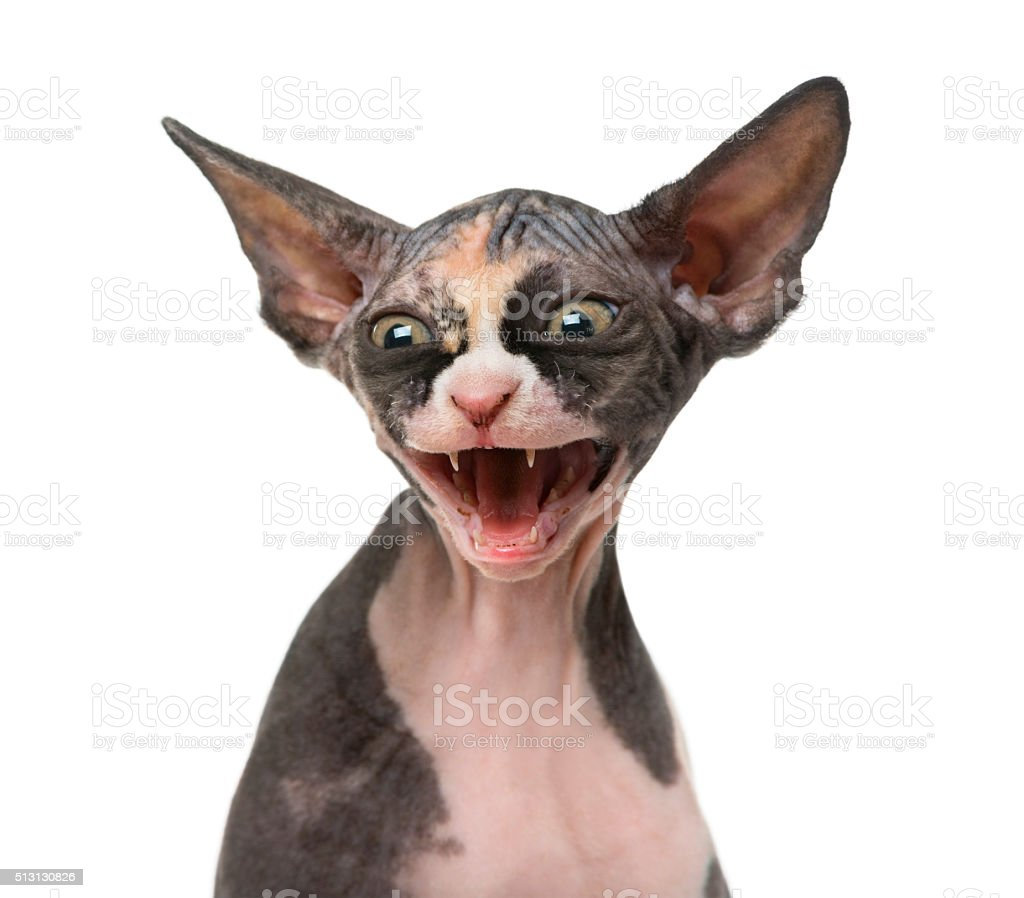 Close Up Of A Sphynx Kitten Threatening Isolated On White