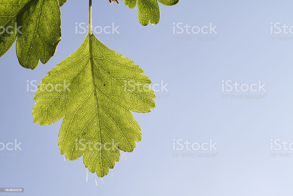 Spring green hawthorn leaf in blue sky royalty-free stock photo