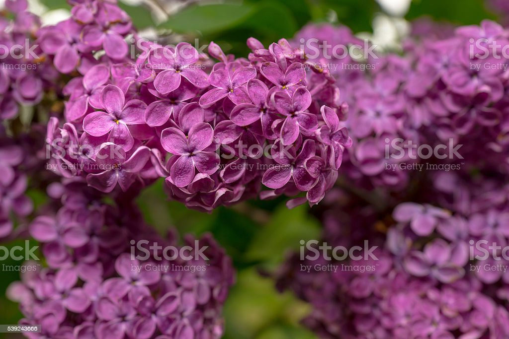 Close up of a spring lilac flowers royalty-free stock photo