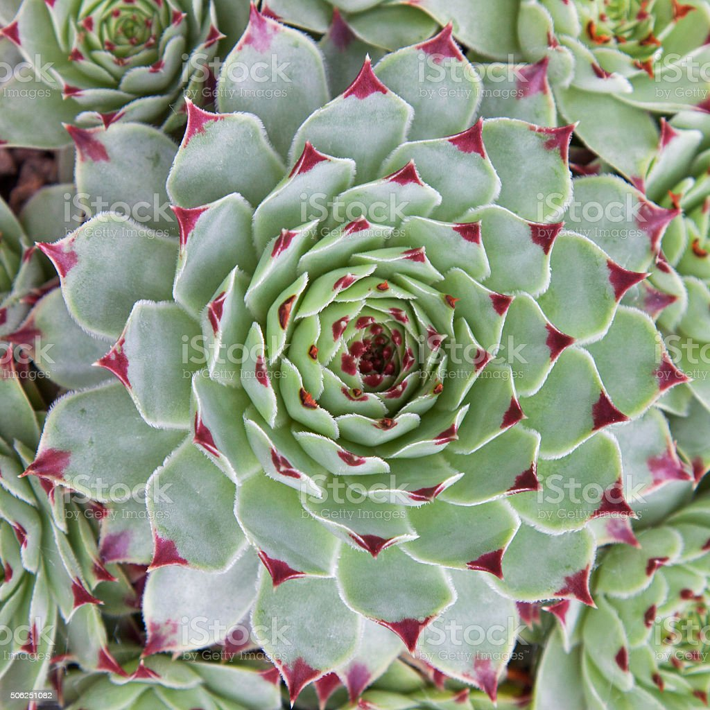 Close up of a succulent Sempervivum Hirtum plant stock photo