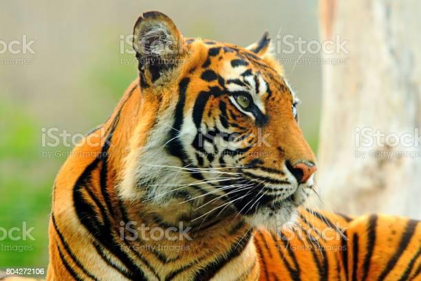 Close up of a sumatran tiger face picture id804272106?b=1&k=6&m=804272106&s=612x612&h=ga3wob5xc8sfvjipluop14x75dcoj5ejjstiukty3wa=