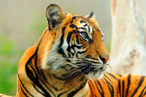Nahaufnahme von einem Sumatran Tiger Gesicht – Foto