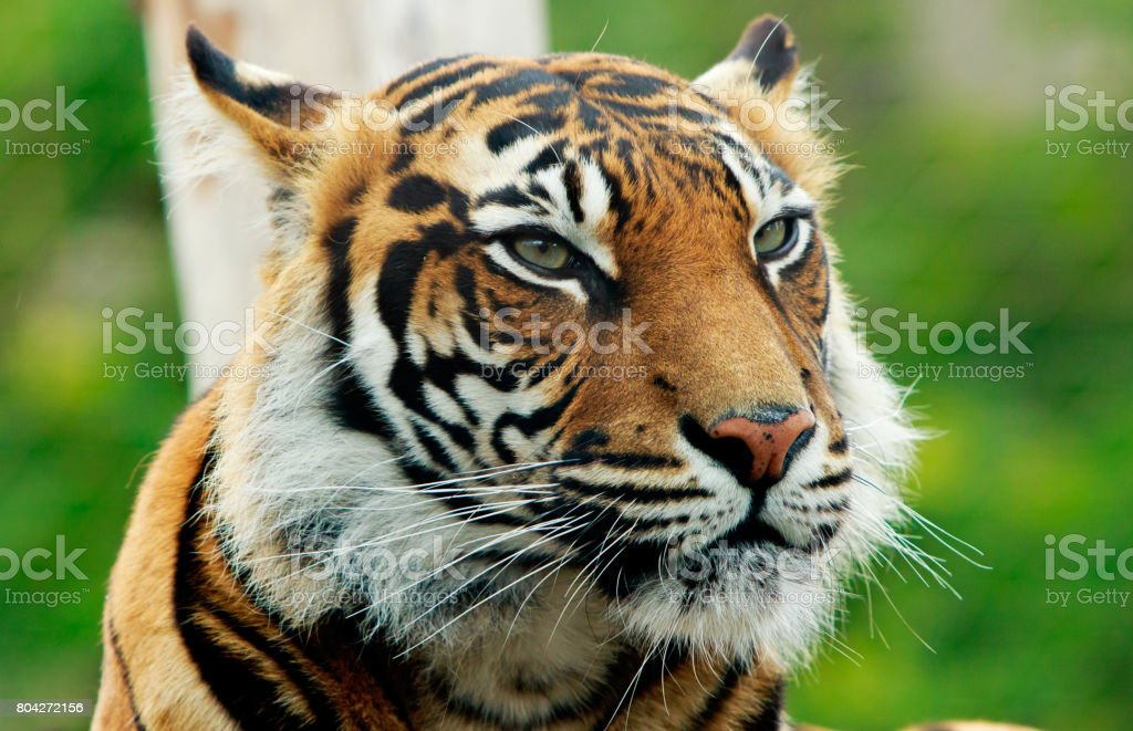 Close up of a sumatran Tiger face