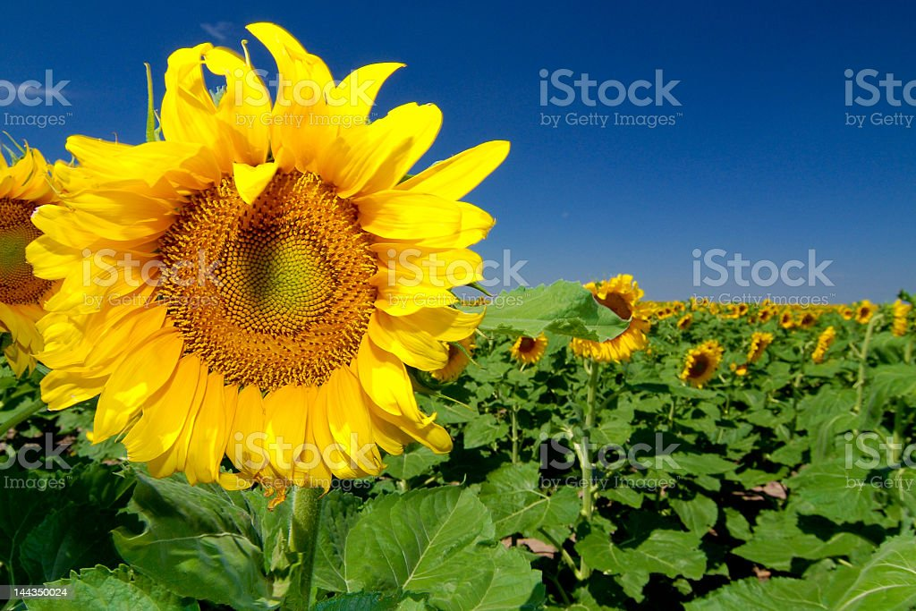 Close up of a sunflower in a sunflower field royalty-free stock photo