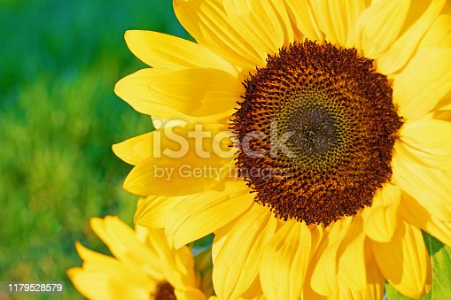 Close up of a sunflower in the sunlight in a beautiful yellow color