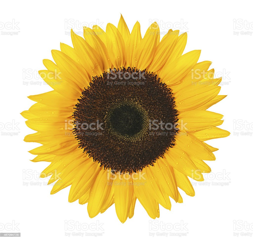 Close up of a sunflower stock photo