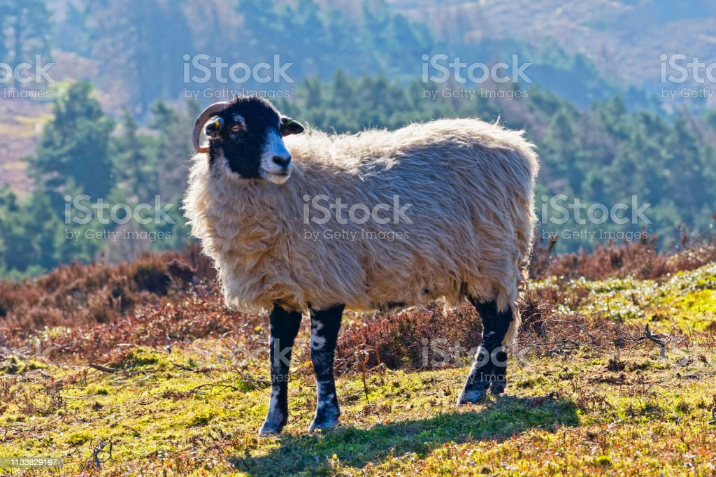 Close up of a Swaledale sheep in the Derbyshire Peak District stock photo