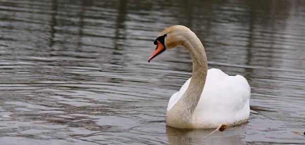 swan, Cygnus, water bird