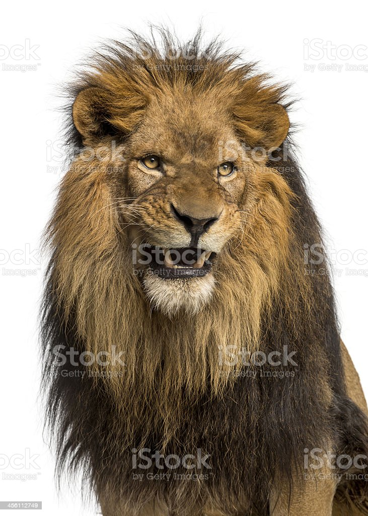 A close up of a ten year old Lion, Panthera Leo, roaring  stock photo