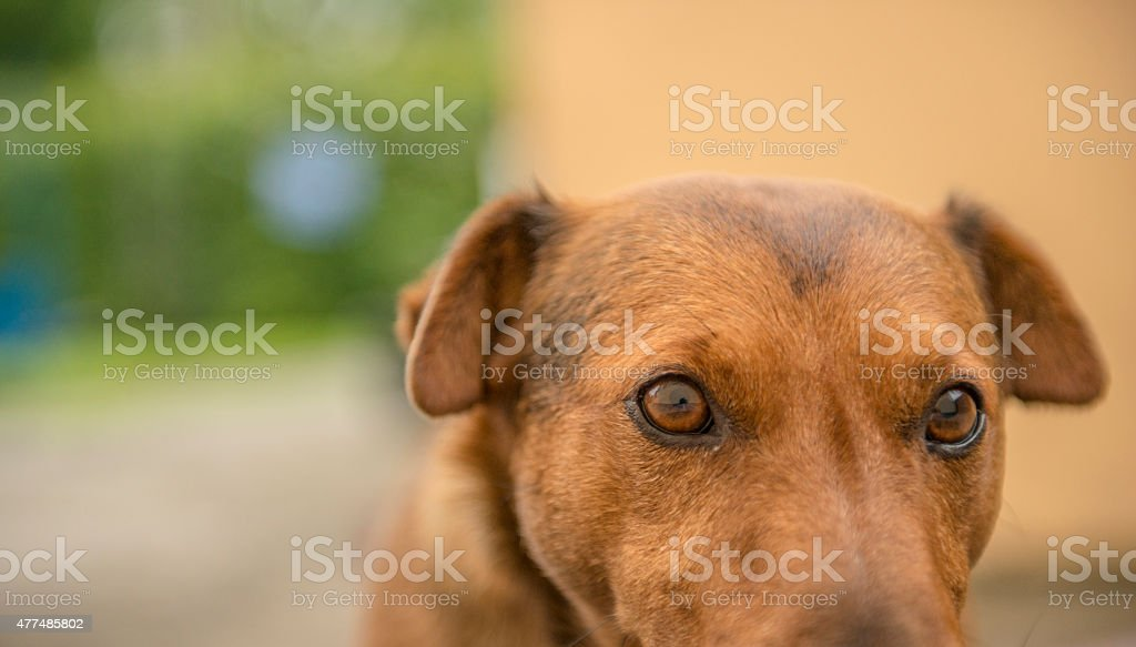 Close up of a terrier dog royalty-free stock photo