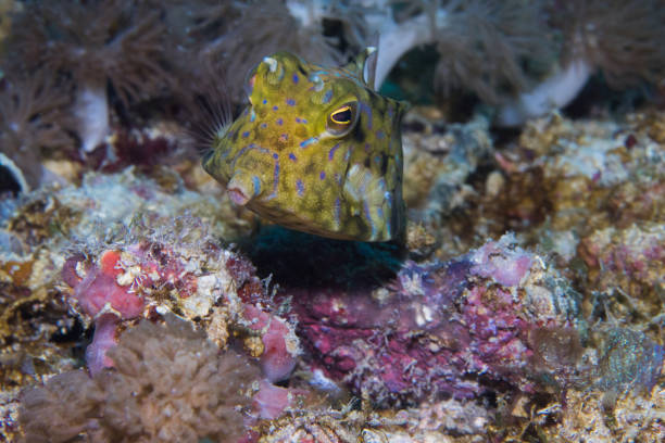 A close up of a Thornspine Cowfish stock photo
