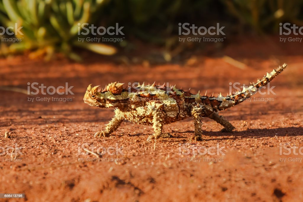 Close up of a Thorny Devil in the Australian outback stock photo