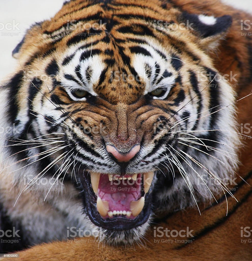 close up of a tiger's face stock photo