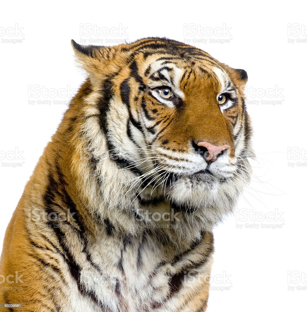 A close up of a tiger's head and shoulders royalty-free stock photo