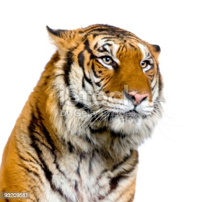 close-up on a Tiger's face in front of a white background.