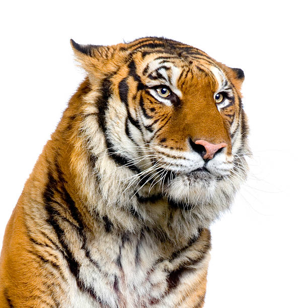 A close up of a tiger's head and shoulders stock photo