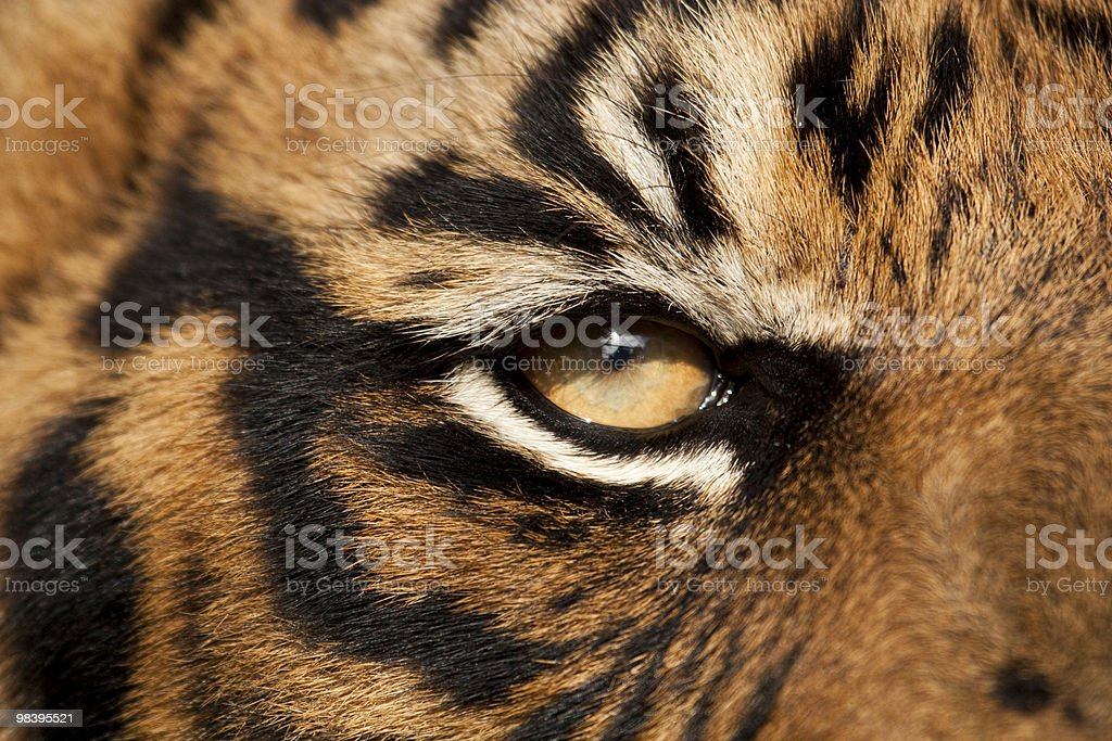 Close up of a tiger's orange eye royalty-free stock photo